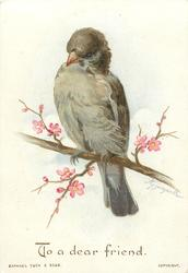 grey  brown bird on limb with pink flowers