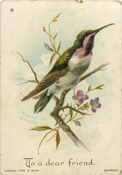 MEXICAN STAR HUMMING BIRD