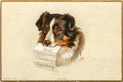 black, brown, and white colie dog head
