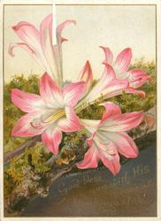 four open pink lilies with one bud
