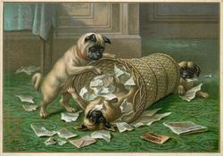 three pug dogs playing with wicker garbage can and wastepaper