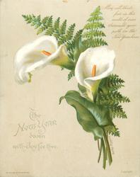 two open white calla lilies with green fern leaves