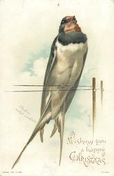 RUFOUS NECKED SWALLOW