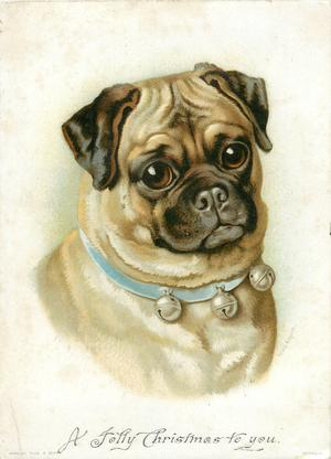 pug dog wearing blue collar with three small bells