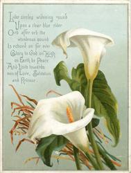 two white calla lilies with grasses