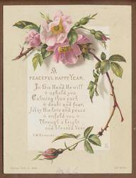 pink roses on stem