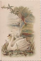 no front title, swan on lake amid reeds, willow tree behind