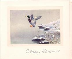 A HAPPY CHRISTMAS single mallard lifts off from snowy rock over water, snowy bank with grass, right