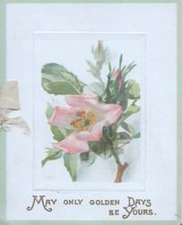 MAY ONLY GOLDEN DAYS BE YOURS in gilt below pink wild roses. green marginal stripe
