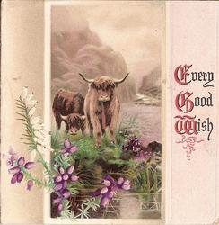 EVERY GOOD WISH, inset of highland cattle with purple and white heather in front