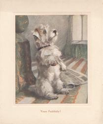 YOURS FAITHFULLY! in brown below inset of white scotch terrier sitting beggng in room