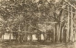 THE GREAT BANJAN TREE BOTANICAL GARDEN