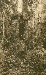 BLEEDING A BALATA TREE IN BRITISH GUIANA  rubber