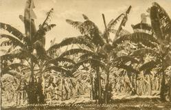 BANANA PLANTATION, THE MORNE EXPERIMENTAL SECTION