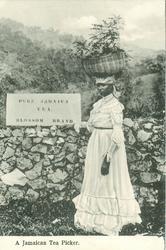 A JAMAICAN TEA PICKER