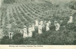 HOEING AND WEEDING, JAMAICA TEA GARDEN