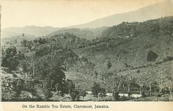 ON THE RAMBLE TEA ESTATE, CLAREMONT