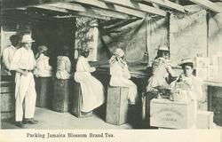 PACKING JAMAICA BLOSSOM BRAND TEA
