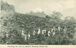 PLUCKING THE LEAF OF JAMAICA  BLOSSOM BRAND TEA