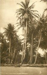 COCO-NUT PALMS, TRINIDAD