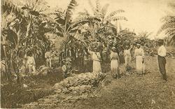 REAPING BANANAS, TRINIDAD