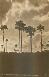 MORICHE PALMS ON ARIPE SAVANNAH, TRINIDAD