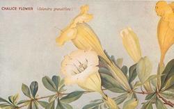 CHALICE FLOWER (SOLANDRA GRANDIFLORA)