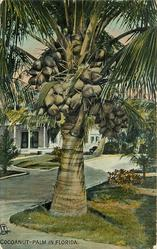 COCOANUT-PALM IN FLORIDA