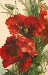 two deep red poppies, leafy stalks central, bud top left & another bottom right
