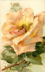 peach rose,central