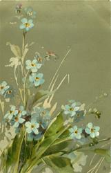 FORGET- ME -NOTS  stalks to left