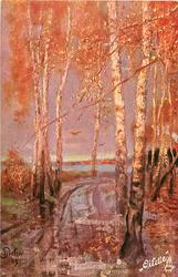 autumn colours, many birches
