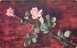 two pink roses on long stalks based lower right