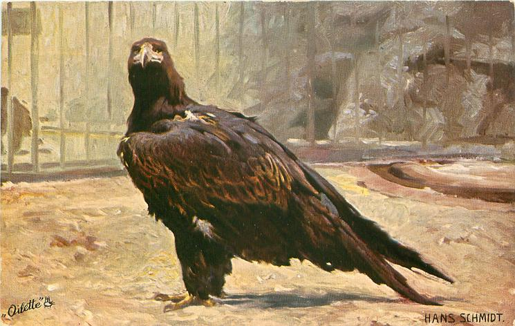 single eagle on ground, in a large enclosure, bars behind