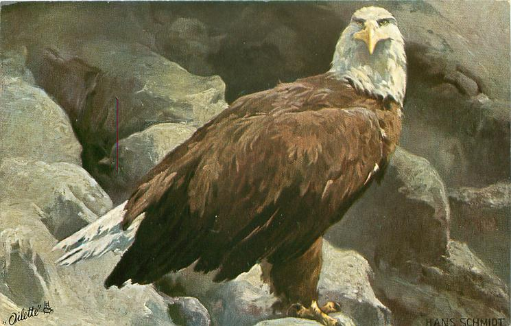 single eagle on rocks, facing right, looking front