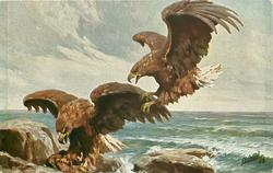 two eagles in flight, about to land on a rock
