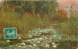 white water-lilies with orange centres in front of tall rushes, trees behind left
