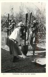 THRESHING MILLET IN THE GAMBIA