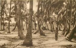 COCOA-NUT TREES, IDDO