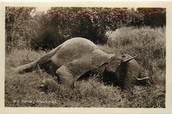 BIG GAME (RHODESIA)  elephant