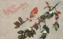 robin sings on holly branch. stalk to upper right