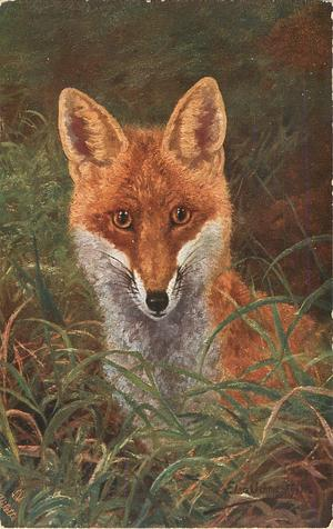 frontal view of fox, sitting, looking out from grass