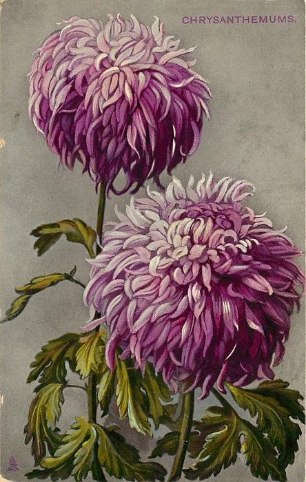 CHRYSANTHEMUMS purple flowers - TuckDB
