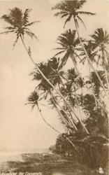 CLIMBING FOR COCOANUTS