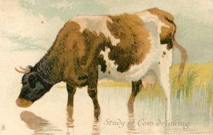 STUDY OF COW DRINKING