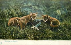 """SHARING THE SPOILS.""  fox cubs"