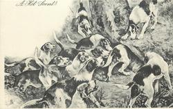 A HOT SCENT!  Foxhounds