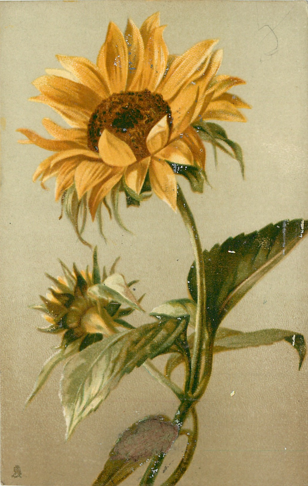 One Open Sunflower With Stem Curving Slight Left Bud