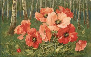poppies in field in front of silver birch woodland