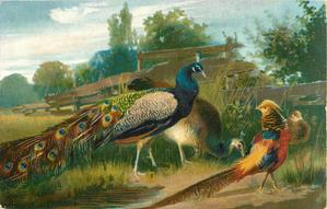 oriental pheasant & peacocks